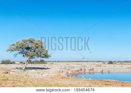 A herd of impalas (Aepyceros melampus) and a springbok drinking water at a waterhole in Northern Namibia