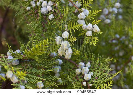 Green Juniper bush in a green garden