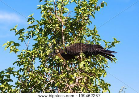 Southhern ground hornbill on the tree. Tarangire, Africa