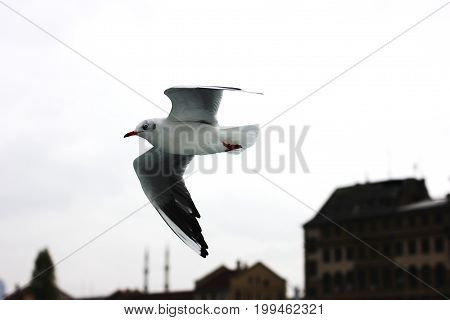 Flying seagull in a grey cloud sky