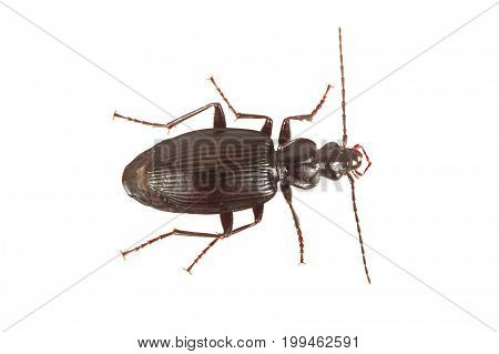 Ground Beetle (limodromus Assimilis) On A White Background