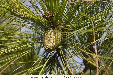 Green pine cone and pine-needles on sunshine