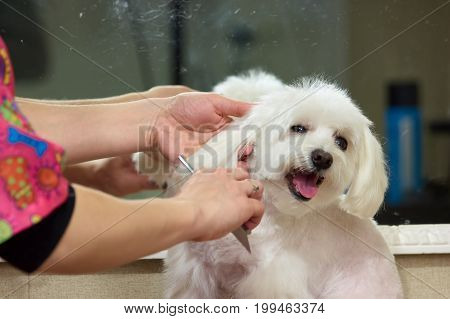 Hands with comb brushing dog. Dog grooming, maltese. Useful dog grooming tips.
