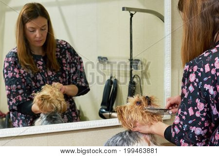 Groomer and york terrier. Woman combing a dog.