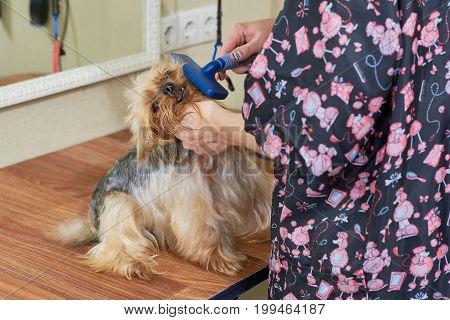Hands brushing york terrier. Little dog at the groomer.