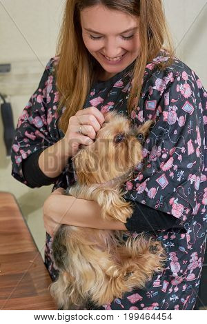 Happy woman holding a dog. Groomer with yorkshire terrier.