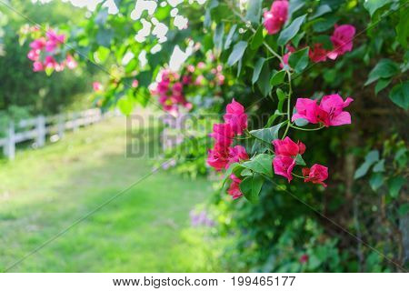 Beautiful red Bougainvillea glabra or paperflower in the garden