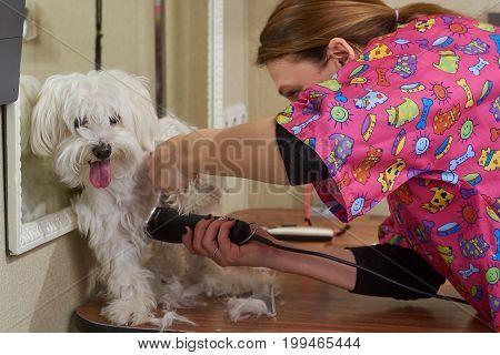 Dog groomer and white maltese. Cute animal getting haircut.