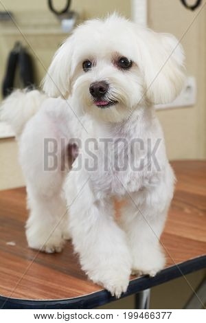 Young white maltese. Cute dog, close up. Dog breed from toy group.