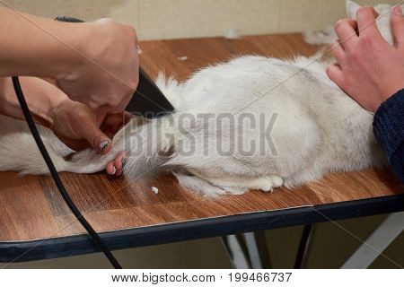 Cat getting haircut close up. Cat groomer using trimmer.