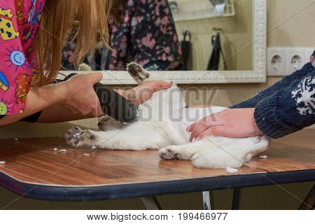 White cat getting a haircut. Hands of cat groomer, trimmer.