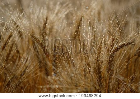 ripe wheat ears with drops of morning dew in the rays of the sun