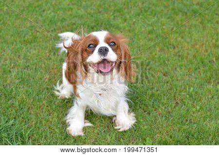 Joyful Dog On A Lawn