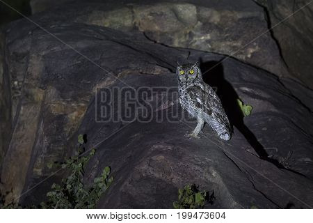 Spotted Eagle-Owl sitting on rocks in a spotlight at night