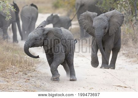 Young elephant play on a road while family feed nearby