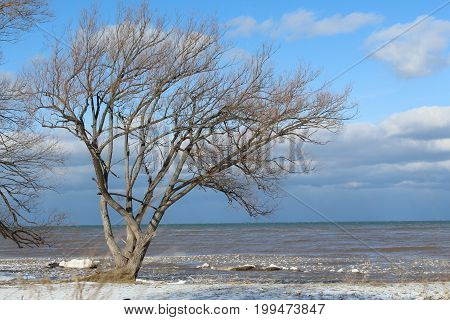Winter wind blown tree on Lake Ontario