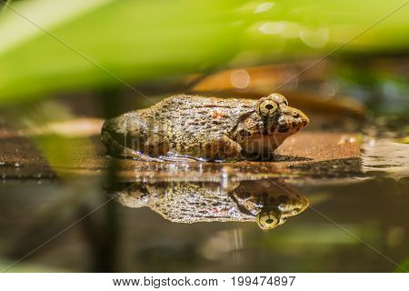 Tropical frogs in a pond behind a fern.