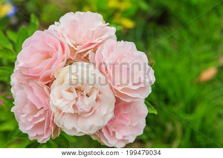 Pink roses in the garden used for background image