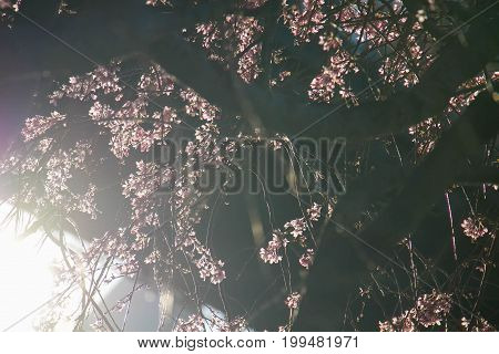 Tiny pink flowers on tree with shiny sunlight