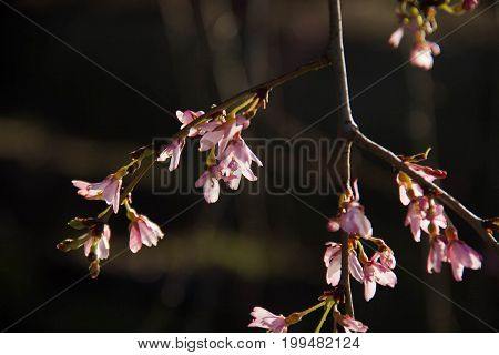 Tiny blooming pink flowers on branches with sunlight and blurred background