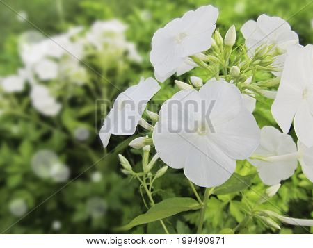 White hydrangea in the garden. Flowers on an indistinct background and a side