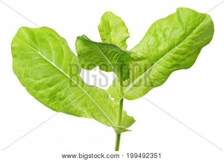 Lettuce Green Leaf Salad Isolated On White