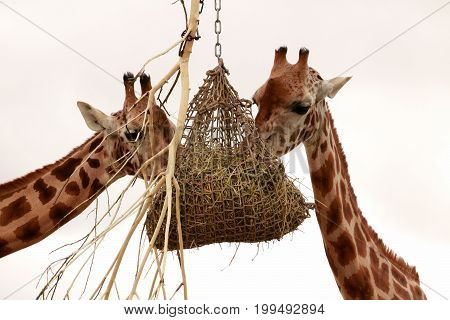 two giraffes eating out of a basket