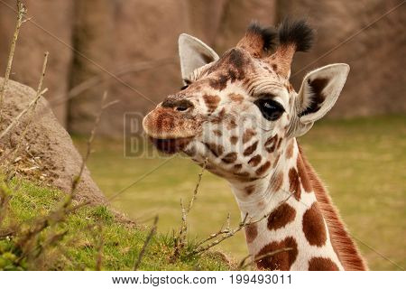 head of a young giraffe looking at me