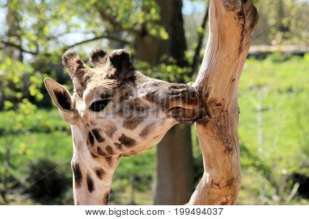 head of a giraffe eating bast from a tree