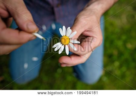 The man guesses on a chamomile on nature in summer. Tear off white petals