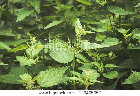 Fresh nettle leaves. Nettle growing wild. Concept of alternative medicine.