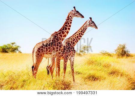 Giraffes in the African savannah. African safari.