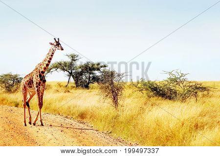 The giraffe crosses the road in the African savannah. Safari animals.