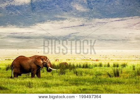 Lonely African elephant in the Ngorongoro Crater in the background of mountains and green grass. African travel image. Ngorongoro Conservation Area.