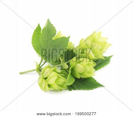 Green twig of hops isolated on a white background