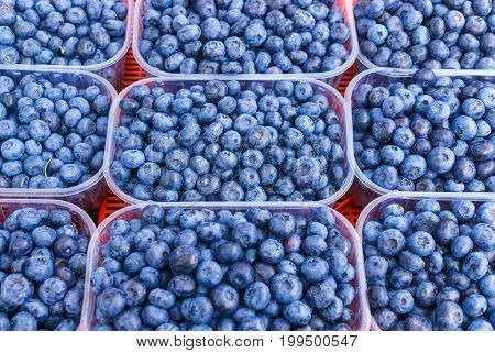 Large fresh garden blueberry collected in trays