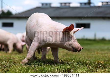 Lovely little pig on a rural organic farm
