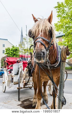 Quebec City Canada - May 29 2017: Closeup of horse attached to carriage buggy for tourist transportation in old town