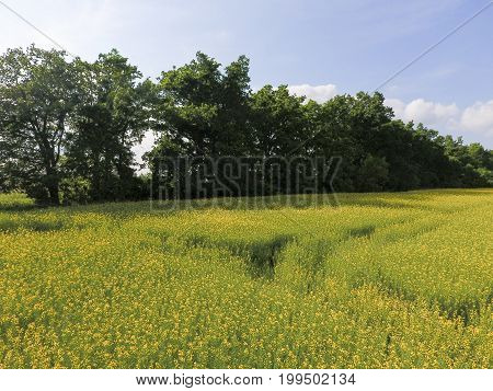 Field Of Flowering Rape. Rape, A Syderatic Plant With Yellow Flowers. Field With Siderates.