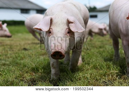 Little pig face closeup at animal farm rural scene summertime. Closeup of young piglet on green background at pig farm