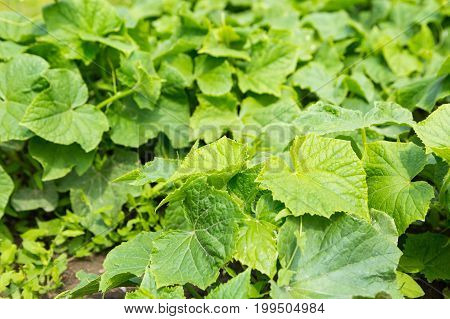 Cucumbers Bushes Growing In Vegetable Garden