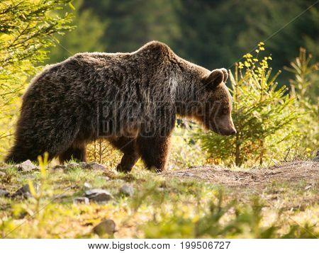 Eurasian brown bear - Ursus actor actor - Slovakia