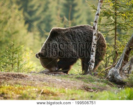 Eurasian brown bear - Ursus actor actor -looking foe something to eat