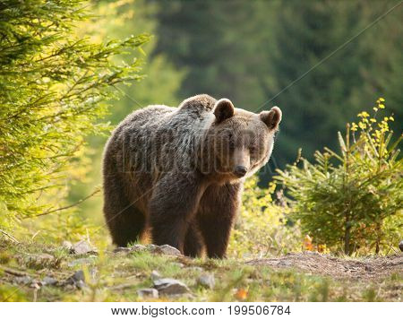 Brown bear in Mala Fatra mountains in spring - Ursus actor