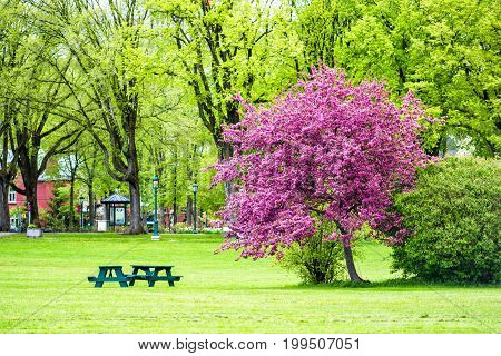 Colorful Pink Or Purple Crabapple Tree In Green Plaines D'abraham Park In Morning During Summer In Q