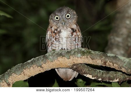 Juvenile Eastern Screech-Owl (Megascops asio) in a tree at night - Red form