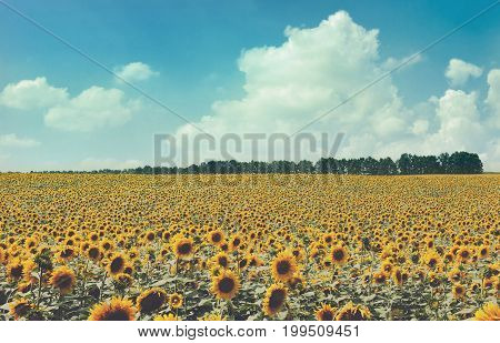 Rural nature landscape. Sunflowers field at blue sky background. Agricultural business, sunflower oil production. Summer farming.