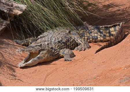 Nile Crocodile (Crocodylus niloticus) at water's edge