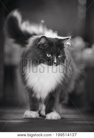 Not the color image of a fluffy cat of a smoky color with yellow eyes lit with the sun.
