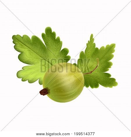 Realistic gooseberry on white background isolated vector illustration. Mesh isolated vector illustratio. Vector illustration.